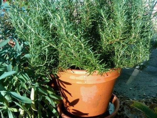 Potted my beautiful rosemary plant. Gonna bring it indoor soon. It smells divine.